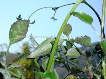 仙人草の新しい葉