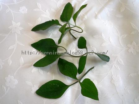 採取した仙人草の葉