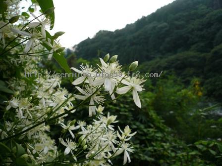 2010仙人草の花1