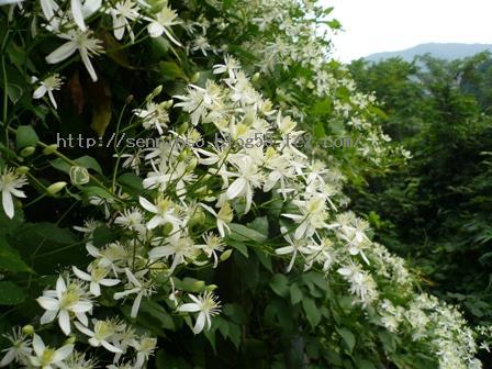 2010仙人草の花3