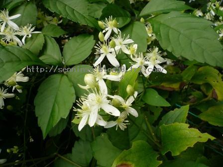 2010仙人草の花2