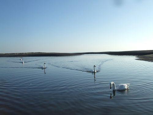 091210-swan1.jpg