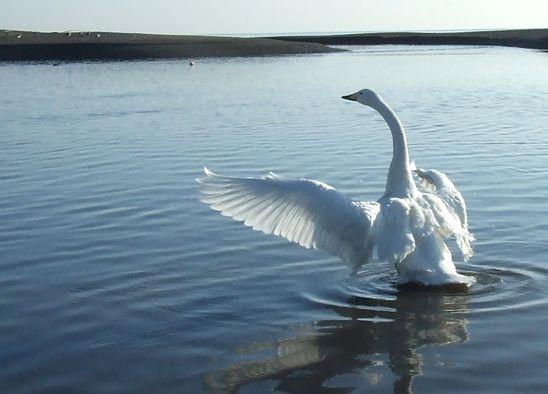 091210-swan2.jpg