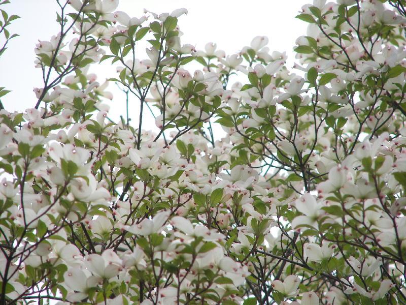 綺麗な花水木