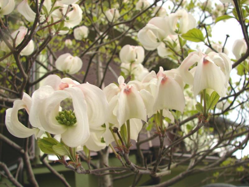 ちょっと変わってきれいな花水木