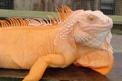 albino_iguana2.jpg