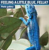 blue_beardie.jpg