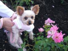 ピンクのバラとシャロン