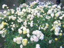 バラ・白&黄色