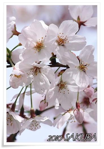 sakura_20100408143916.jpg