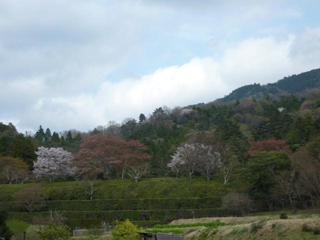 馬車道と桜