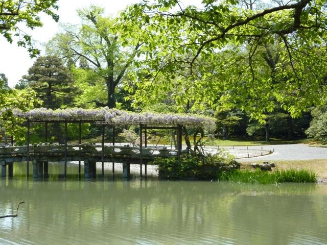 もみじ橋の藤