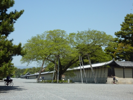 御所の横の大木