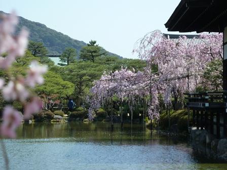たくさんの桜に囲まれて