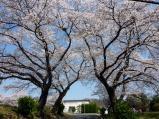 石岡の桜坂
