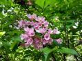 タニウツギの花