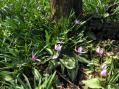 カタクリの花の群落
