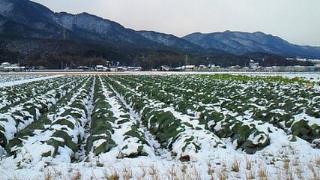 キャベツ畑の雪2