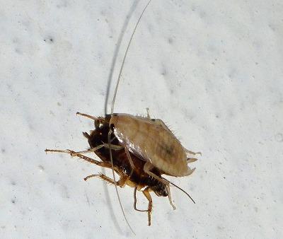 ゴキブリの脱皮