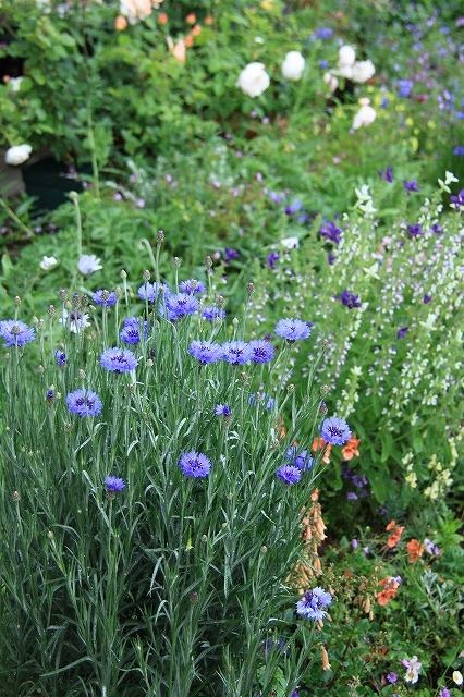 IMG_7851アニスさんのお庭