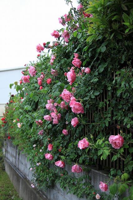 IMG_7890おじむくさんのお庭