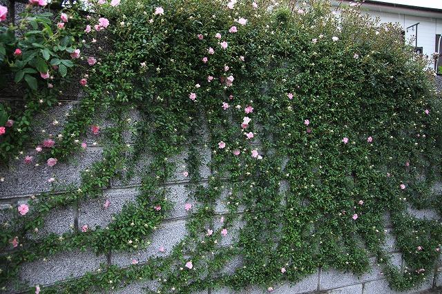 IMG_7901おじむくさんのお庭