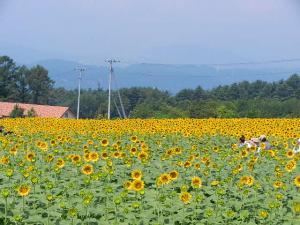 長野ひまわり畑