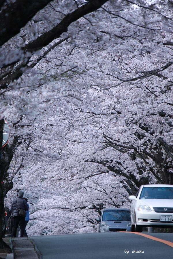IMG_4173伊豆 桜