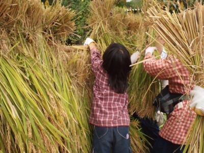 なっちゃん稲を干す