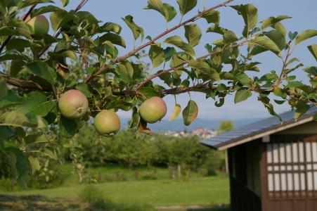 青森のリンゴは今頃