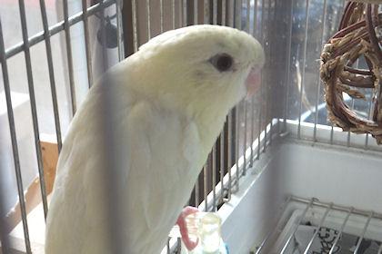 サザナミインコクリ―ムがっちゃん