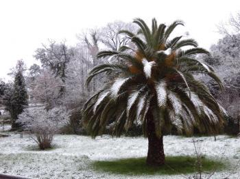 palmier neige