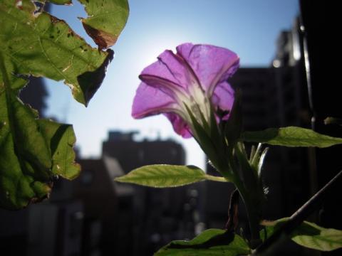 アサガオは咲き続け…