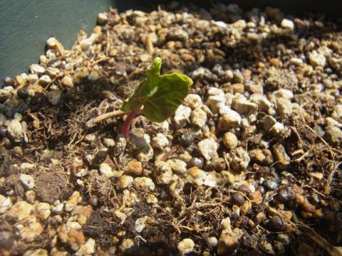 アサガオの芽が出てきました
