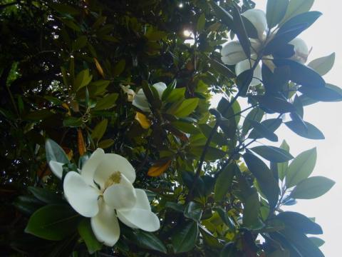 タイサンボクの花が咲いていました