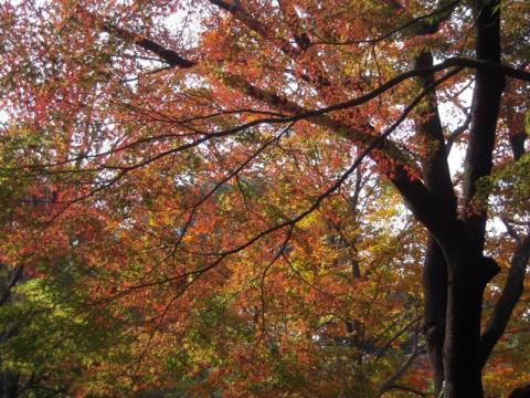 紅葉見頃です。皇居東御苑
