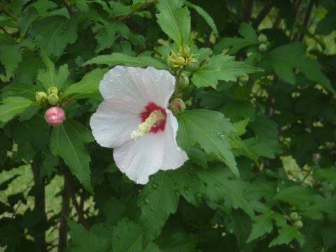ノカンゾウが咲きました