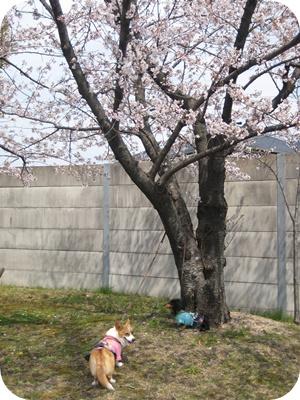 犬と桜IMG_3555