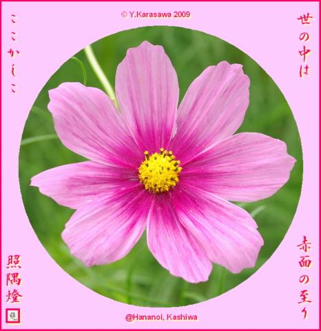 091027コスモス桃色