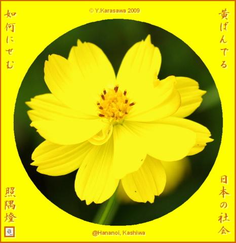 091028黄花コスモス