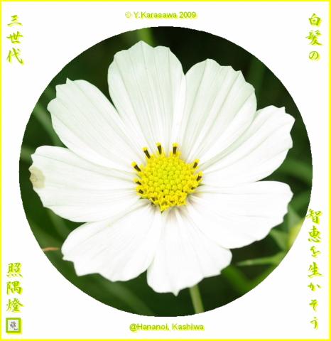 091029白いコスモス
