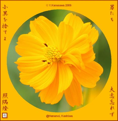 091030橙コスモス