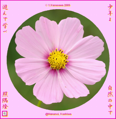 091102桜色濃芯コスモス