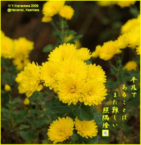 091209小菊