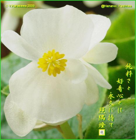 091213四季咲きベゴニア