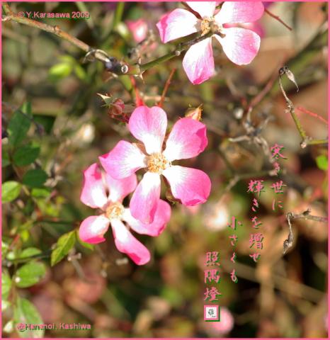 091216冬薔薇