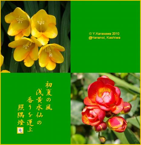 100521浅黄水仙