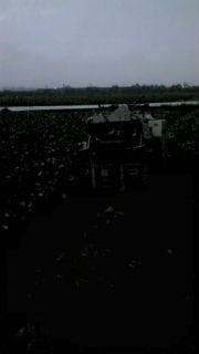 枝豆収穫 AM4:30