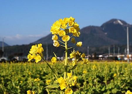 新庄菜の花