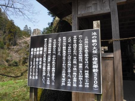 池の鶴大桜